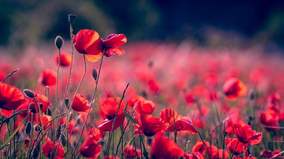 poppies-3374193_960_720